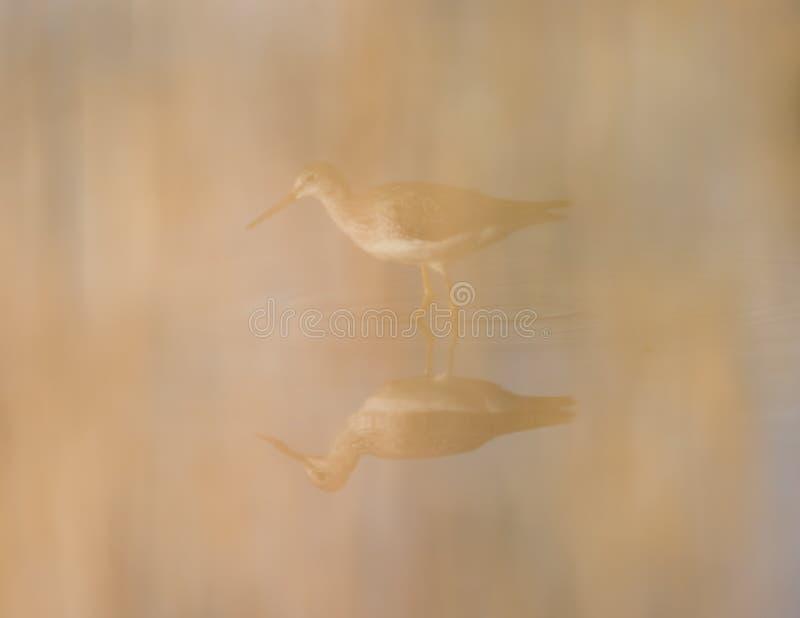 前景高草弄脏的更加伟大的黄足鹞,当走和寻找在Crex草甸野生生物地区时沼泽地  库存照片
