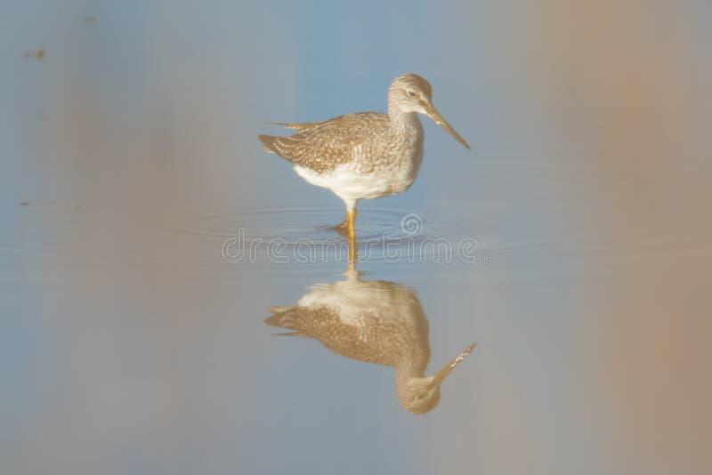 前景高草弄脏的更加伟大的黄足鹞,当走和寻找在Crex草甸野生生物地区时沼泽地  免版税库存照片