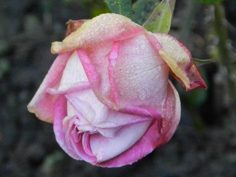 前朵玫瑰在12月开了花 免版税库存图片