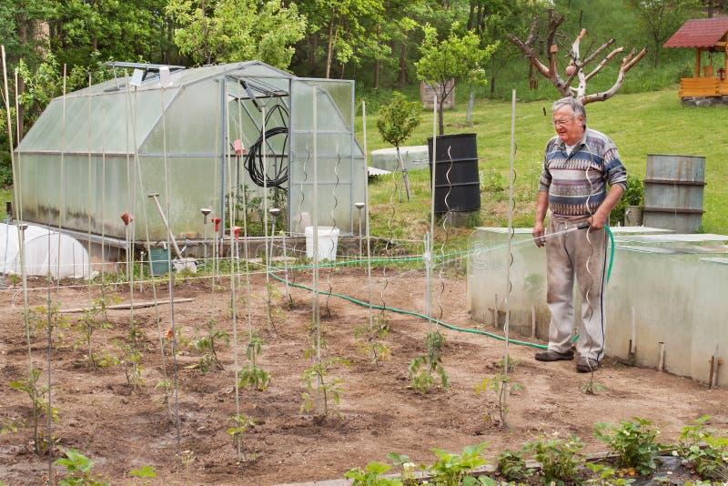 前辈洒庭院 生长蕃茄 浇灌他的庭院的人 免版税库存照片