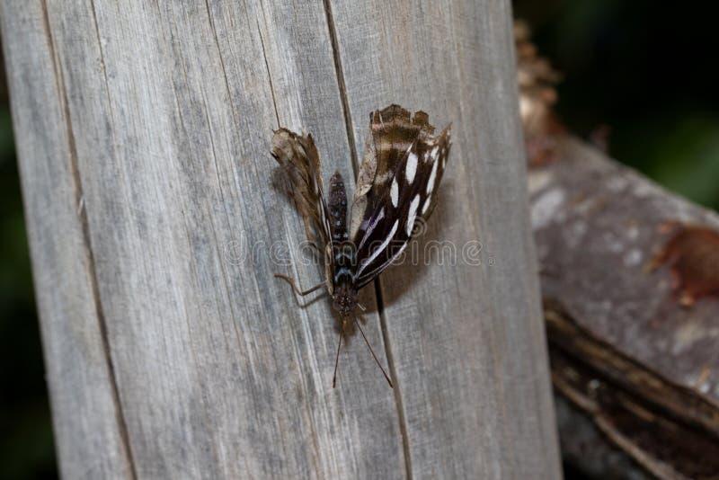 前面和顶视图在一淡紫色白色闪耀蹒跚而行坐一块木头与半开放翼在一间温室emsbà ¼的ren 库存图片