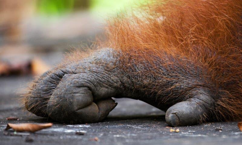 前面手猩猩的细节 特写镜头 印度尼西亚 加里曼丹& x28海岛; Borneo& x29; 库存照片