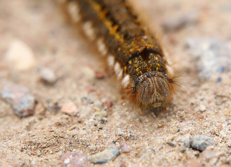 从前面的Euthrix Potatoria毛虫 免版税库存图片