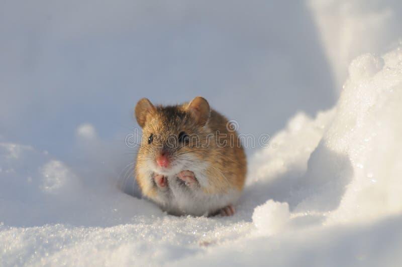 前面观点的在雪的冬天老鼠 库存图片
