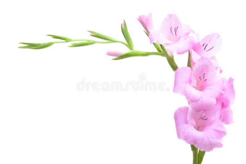 剑兰粉红色 免版税库存图片