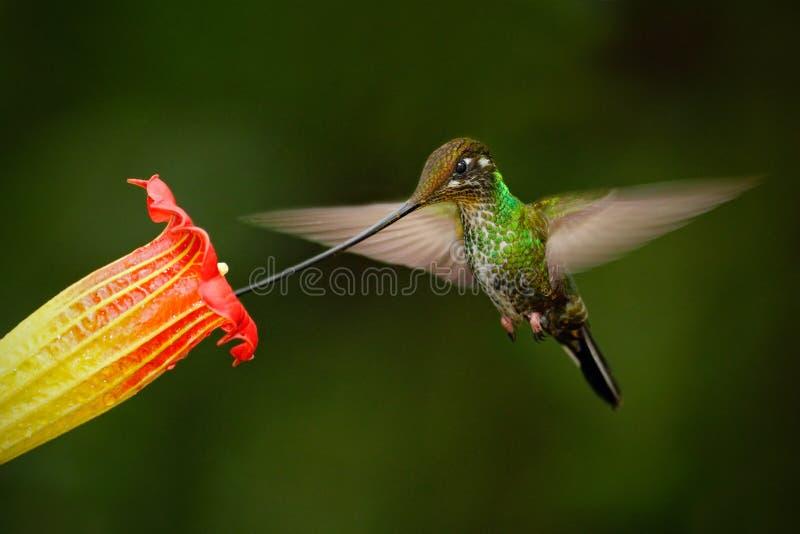 剑开帐单的蜂鸟, Ensifera ensifera,在美好的橙色flover,与最长的票据的鸟旁边的猛冲,在自然森林h里 免版税库存照片