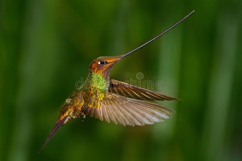 剑开帐单的蜂鸟, Ensifera ensifera,比它的bo的其余长期被注意作为鸟的唯一的种类有票据 库存照片