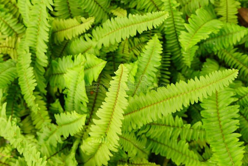 剑或鱼骨蕨叶子新绿色背景 免版税库存图片