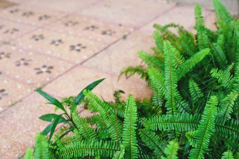 剑蕨离开背景 Nephrolepis exaltata蕨 图库摄影