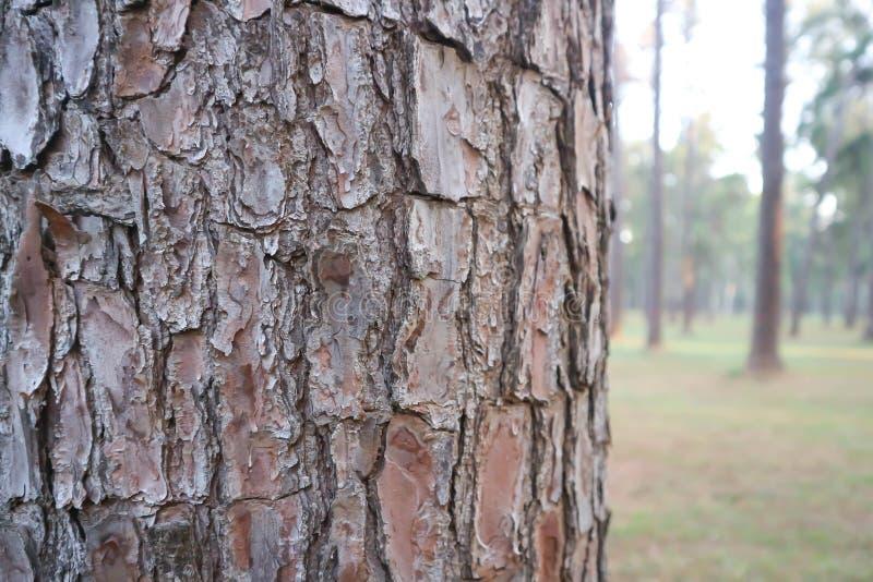剥树或树皮或者杉树壳 免版税库存图片