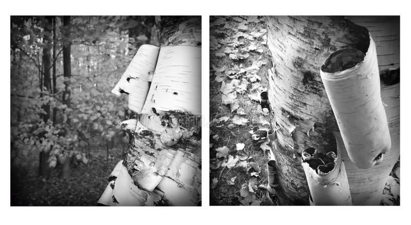 剥白桦树皮 库存照片