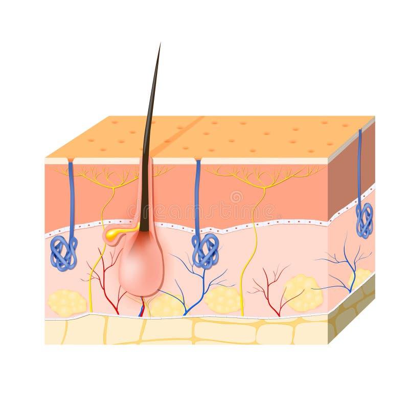 剥皮与皮脂腺和汗腺的层数 皇族释放例证