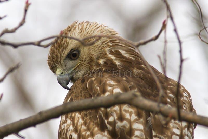 剧烈红被盯梢的鹰的特写镜头 免版税图库摄影