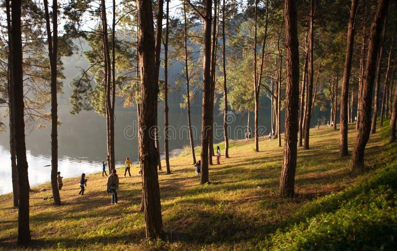 剧痛ung湖的杉木种植园Maehongson的,泰国 免版税库存图片