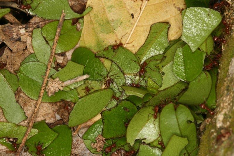 剪切叶子股票的蚂蚁 免版税库存照片