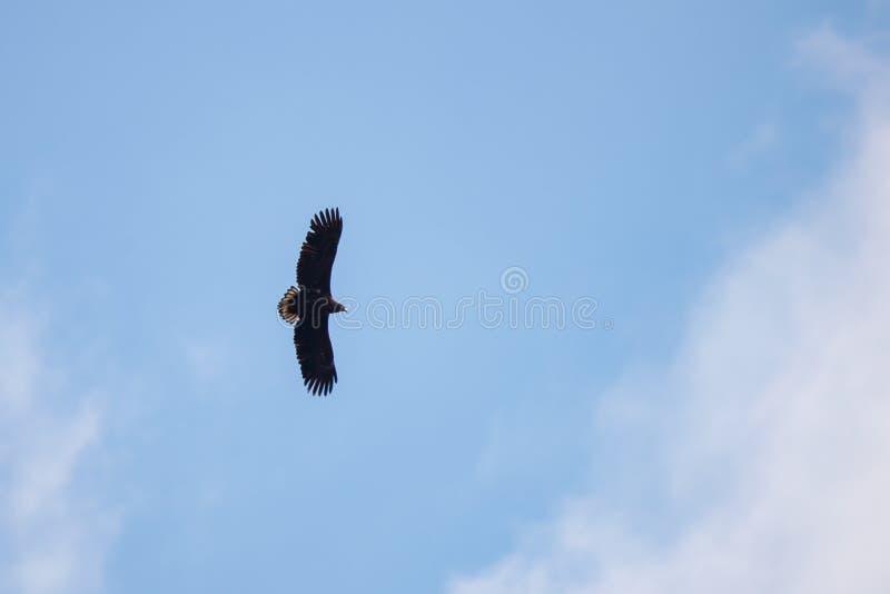 剪影干草原在明亮的太阳和多云天空下的老鹰飞行在夏天 库存图片