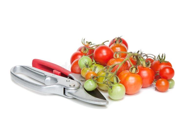 剪枝夹蕃茄 库存图片