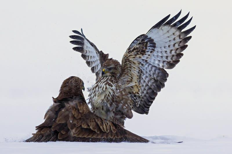 力量的示范在掠食性鸟之间的 库存图片