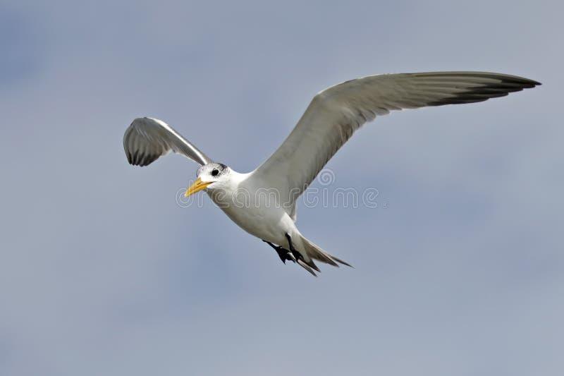 更加伟大有顶饰燕鸥Thalasseus bergii鸟飞行 免版税库存照片