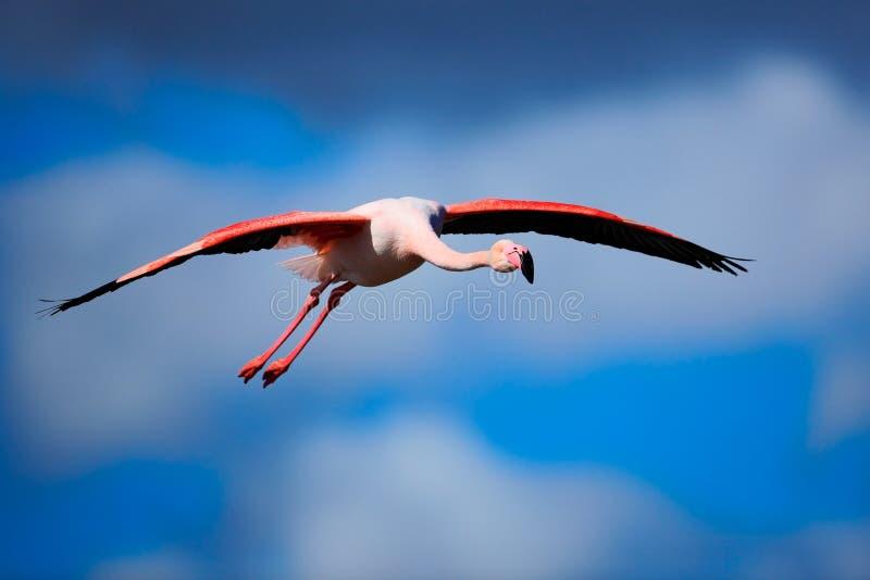 更加伟大的火鸟, Phoenicopterus ruber,与深蓝天空的飞行的美丽的桃红色大鸟,与晚上太阳,在自然的动物 免版税库存图片