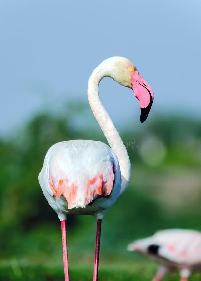 更加伟大的火鸟画象- Phoenicopterus roseus 免版税库存照片