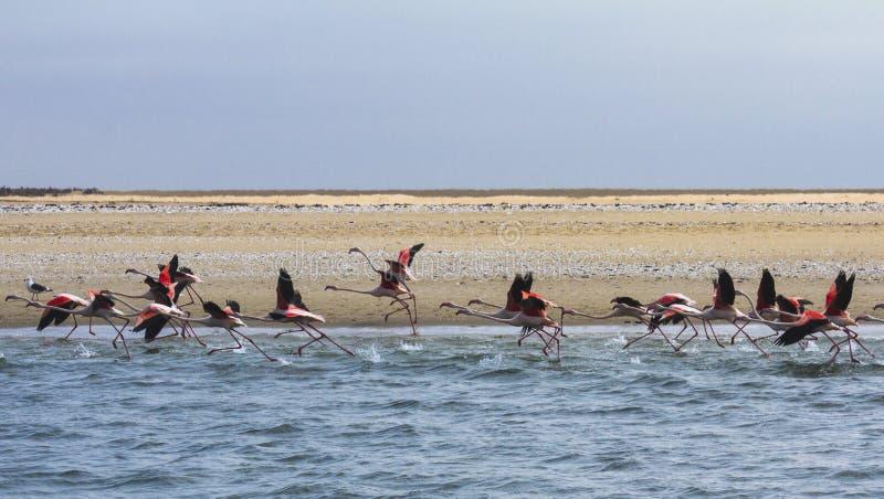 更加伟大的Flamigos在鲸湾港纳米比亚采取飞行 免版税库存图片