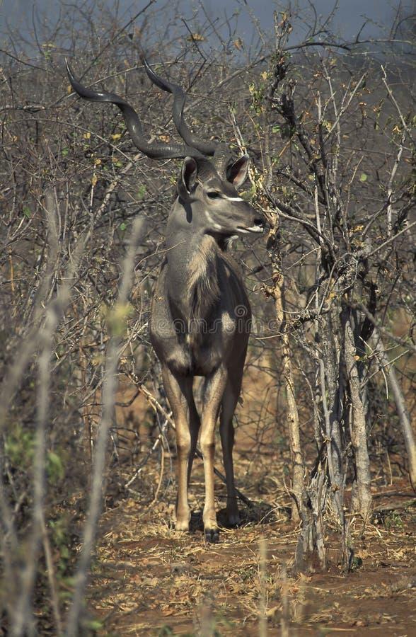 更加伟大的kudu瞪羚,博茨瓦纳男性  免版税图库摄影