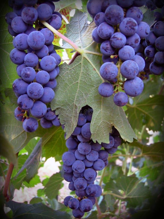 加伯奈葡萄酒葡萄 免版税库存照片