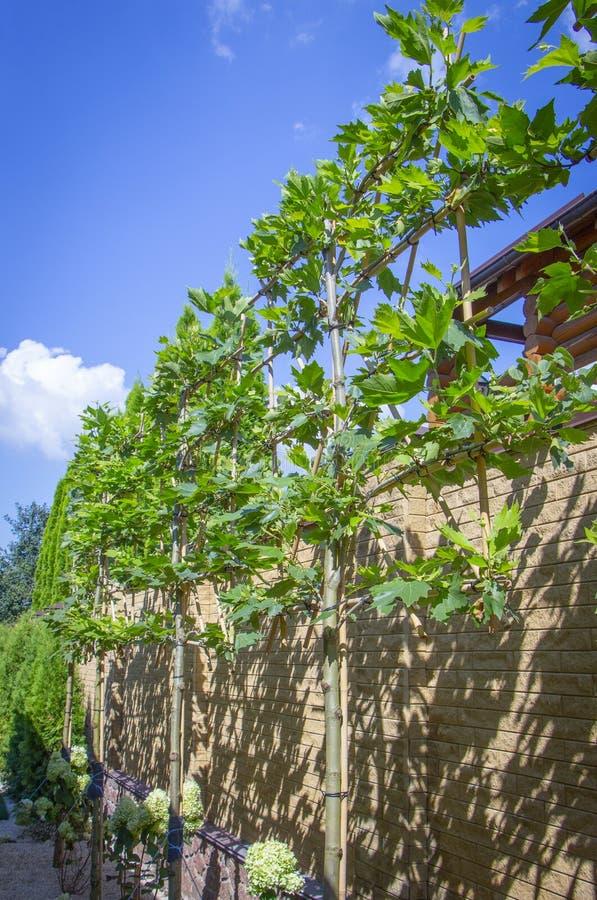 加冠在格子的槭树,有些形状的冠的片断形成的 免版税库存图片