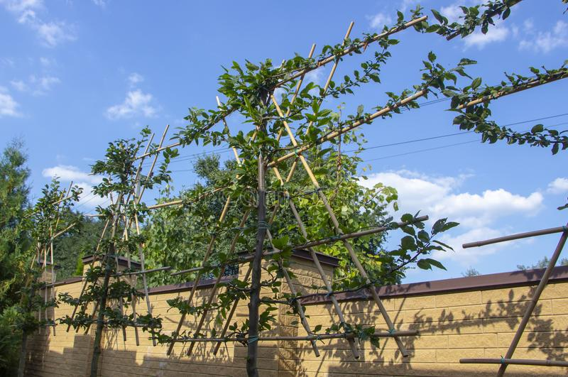 加冠在格子的槭树,有些形状的冠的片断形成的 库存照片