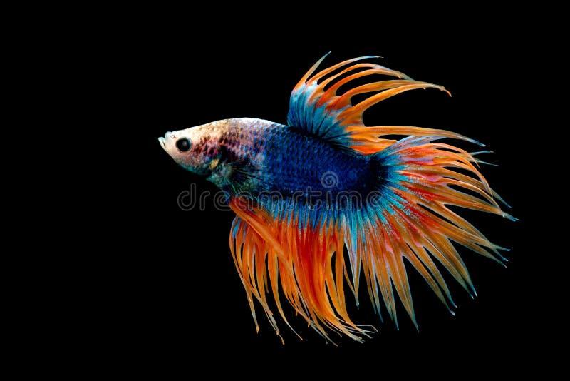 加冠尾巴Betta,暹罗战斗的鱼,蓝色和桔黄色plakad 库存照片