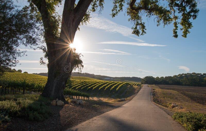 加利福尼亚与清早太阳的谷木树在Paso罗夫莱斯酒乡发出光线在中央加利福尼亚 免版税图库摄影