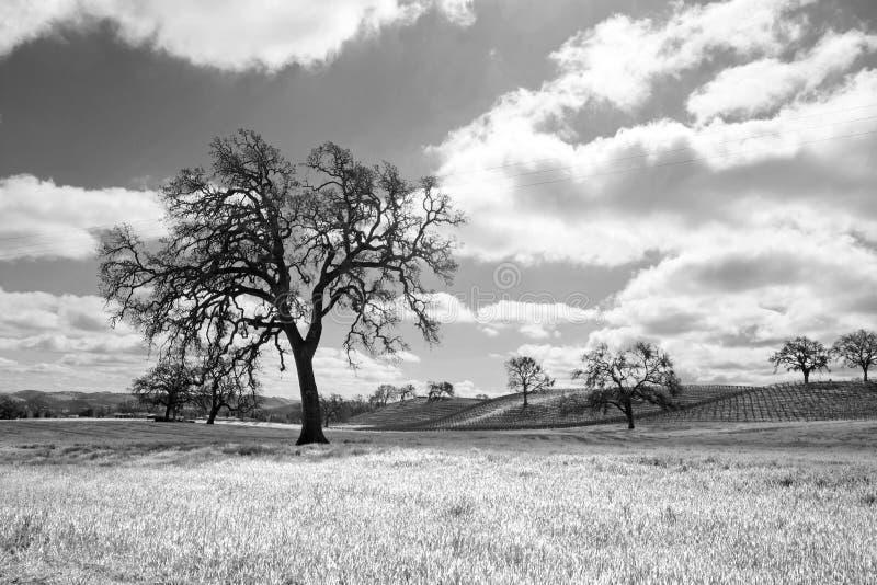 加利福尼亚在积云下的橡树在Paso罗夫莱斯黑白的加利福尼亚美国- 免版税图库摄影