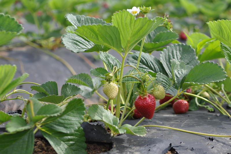 加利福尼亚域有机草莓 库存图片