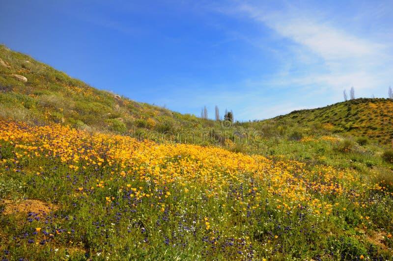 加利福尼亚域鸦片 免版税图库摄影