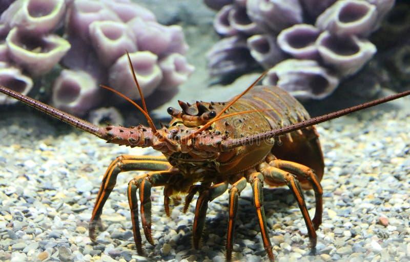 加利福尼亚大螯虾 图库摄影