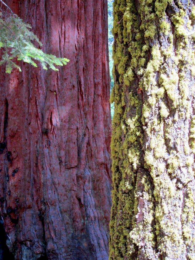 加利福尼亚巨型美国加州红杉结构树 免版税库存照片