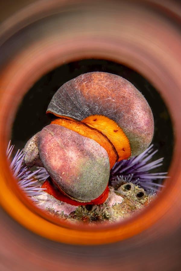 加利福尼亚橙色海带蜗牛 库存图片