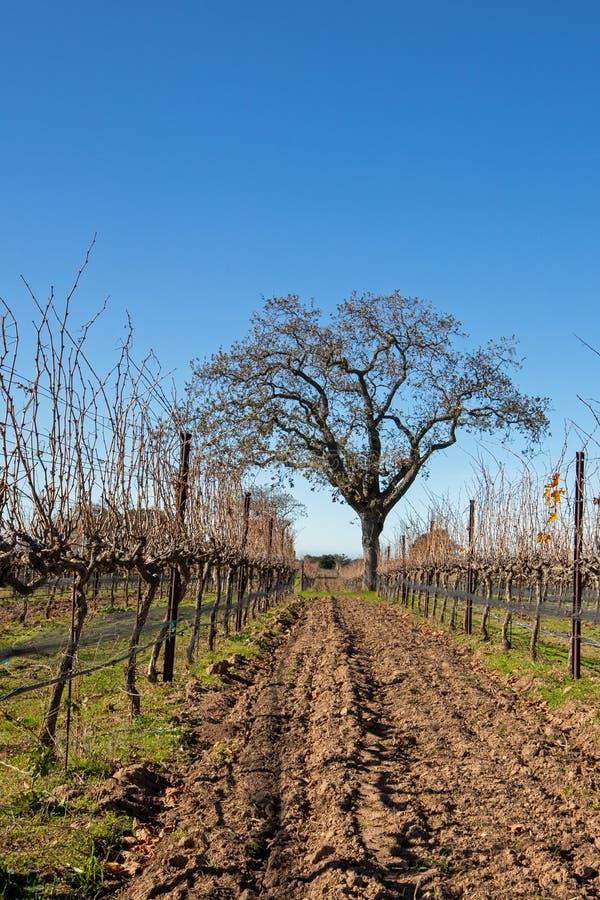 加利福尼亚橡树在冬天在圣芭卜拉小山加利福尼亚美国附近的加利福尼亚葡萄园里 库存图片