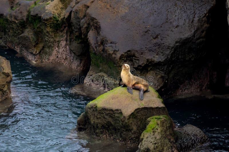加利福尼亚海狮坐在早晨太阳光的岩石在拉霍亚,圣迭戈,加利福尼亚 库存图片