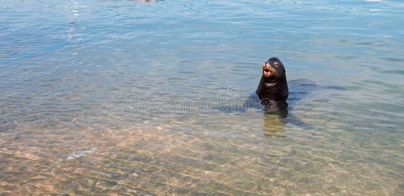 加利福尼亚海狮等待的`赠送品`在小游艇船坞在Cabo圣卢卡斯巴哈墨西哥 库存照片