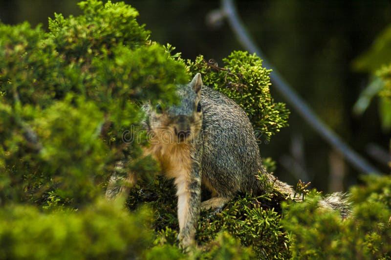 加利福尼亚灰色灰鼠在分支后掩藏在常青松树 库存照片