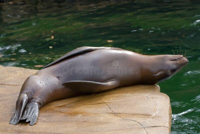加利福尼亚狮子海运 库存图片