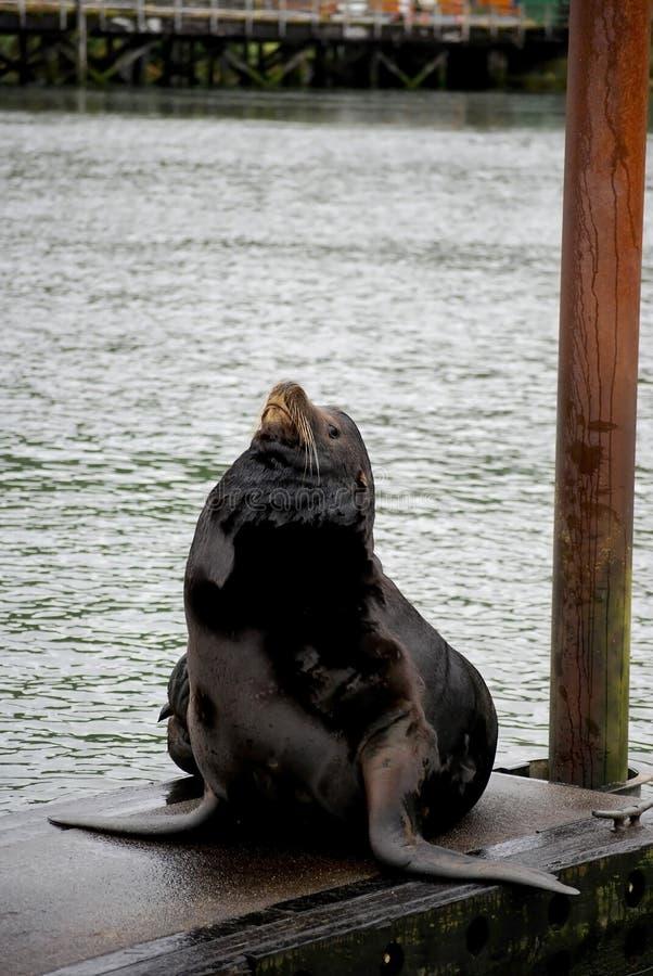 加利福尼亚码头狮子lounging的海运 免版税库存图片