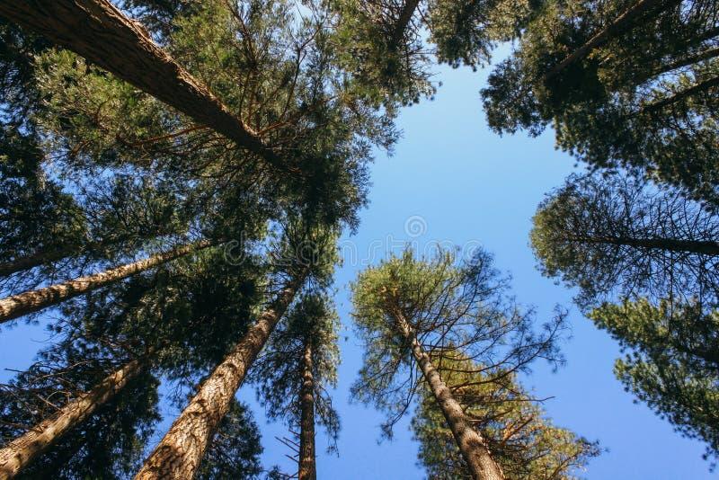 加利福尼亚红杉树 库存图片