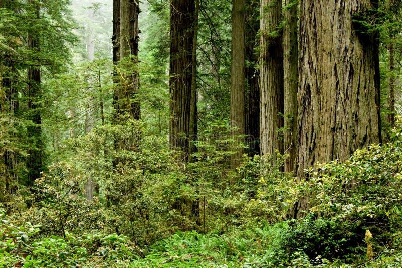 加利福尼亚红杉 免版税库存照片