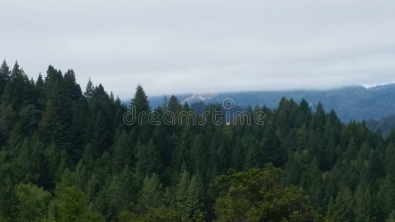 加利福尼亚红杉 库存图片