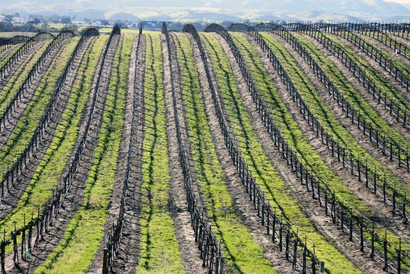 加利福尼亚葡萄园背景 库存图片