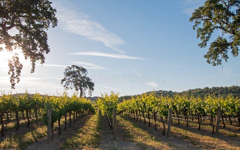 加利福尼亚谷木树在日出的葡萄园里在Paso罗夫莱斯葡萄园在加利福尼亚美国中央谷地  免版税库存图片