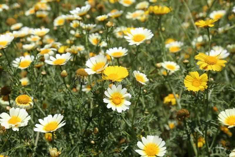 加利福尼亚野花雏菊 免版税库存照片